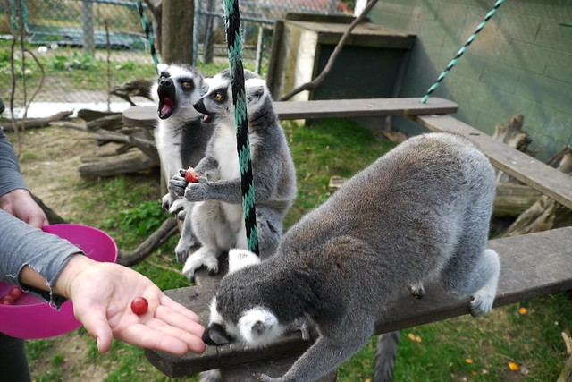 Inside the Lemur cage! Lunch is served :D