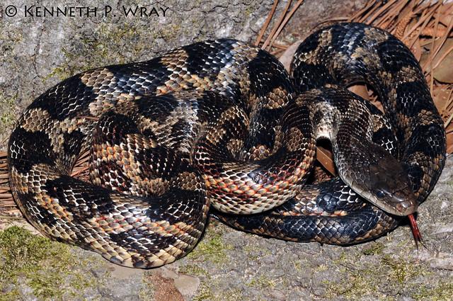 rat snake texas images - photo #13