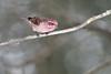 Purple Finch-44855.jpg