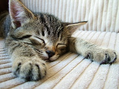 animal, kitten, tabby cat, small to medium-sized cats, pet, mammal, european shorthair, pixie-bob, fauna, close-up, cat, whiskers, bobcat,