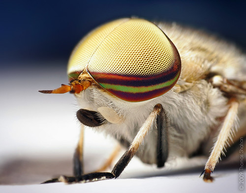 Male Striped Horse Fly - Tabanus lineola