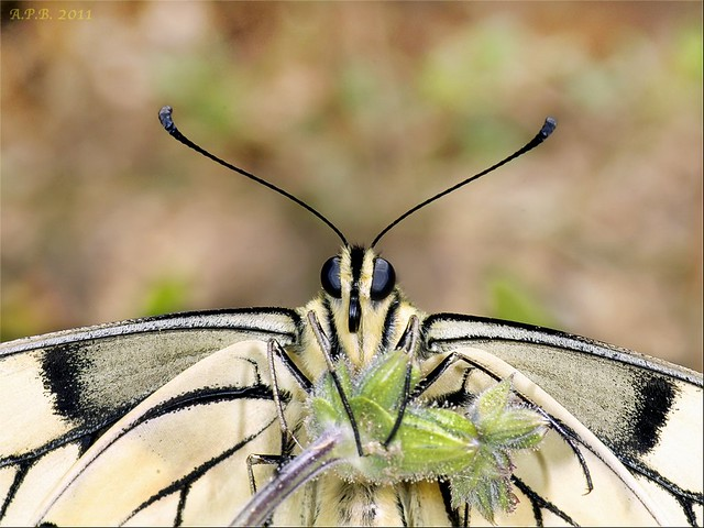 La mirada de la papilo machaón