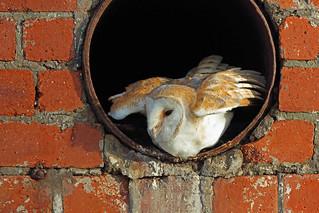 Barn Owl, Haig, Cumbria, England