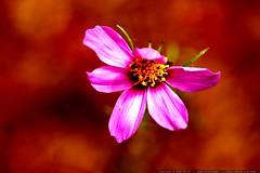 macro pink flower    MG 7277