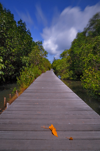 boardwalk in mangrove forest