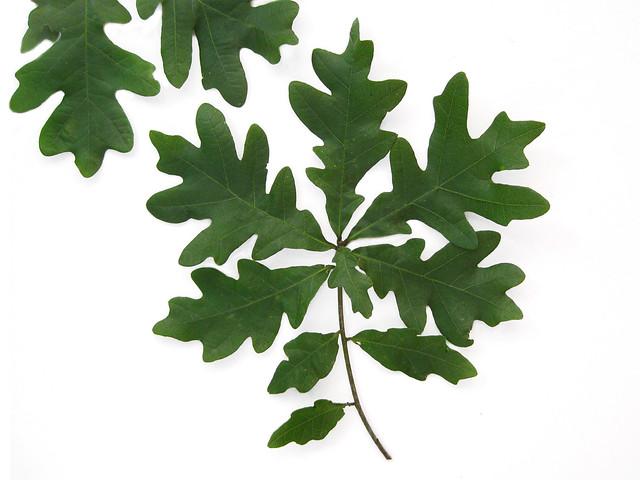 Quercus alba white oak leaves flickr photo sharing