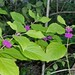 Small photo of American Beautyberry (Callicarpa americana)