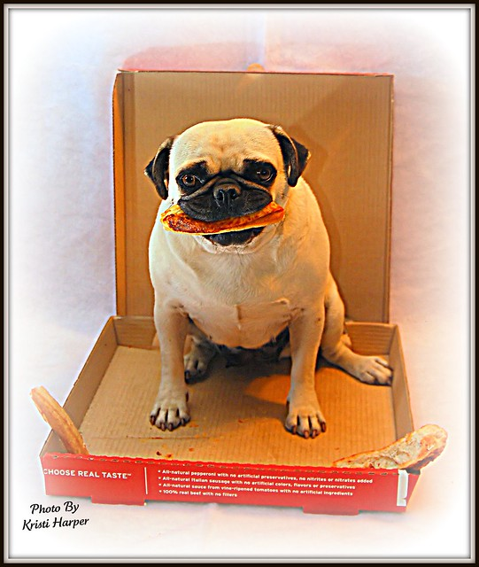 Pug eating Pizza | Flickr - Photo Sharing!