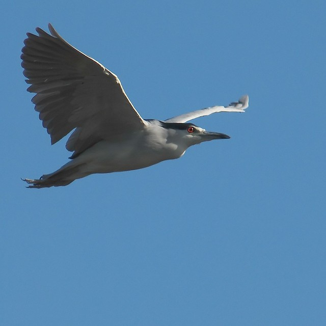 Night heron in flight - photo#50