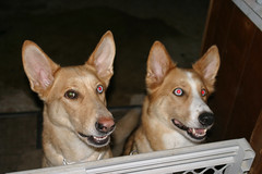 dog breed, animal, dog, carolina dog, pet, mammal,