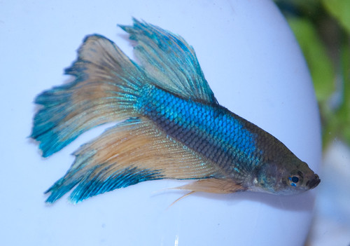 Saddleback body rot columnaris tropical fish forums for Bloated betta fish