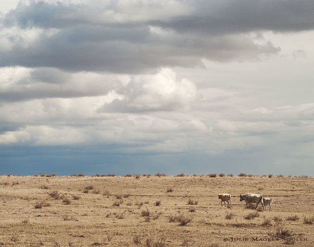 A pale mother cow and her two calves travel across the dry and dusty high plains of Colorado with a stormy dark sky overhead.