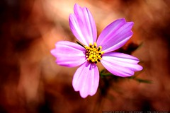 macro pink flower growing above brown pine needles  …