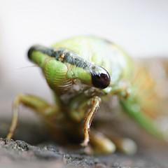 Hi, I am a cicada!