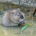 Muskrat - Photo (c) Larry Meade, some rights reserved (CC BY-NC-SA)