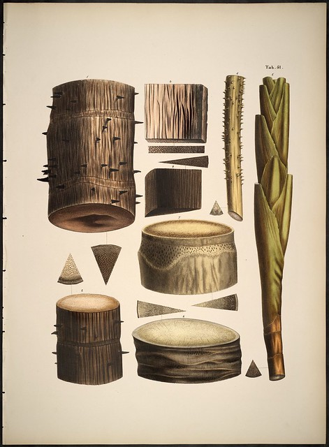 Palm species sections a