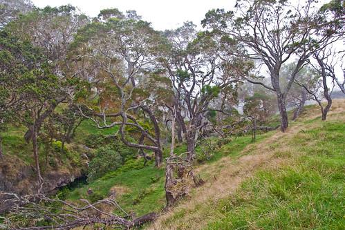 Kahikinui strand of trees with very little understory