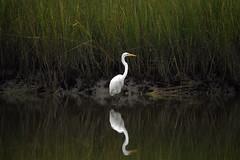 Great White Egret at Bennett's Creek Park