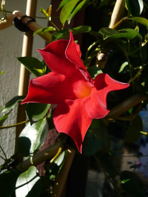 dipladenia 39 sundaville red 39 a photo on flickriver. Black Bedroom Furniture Sets. Home Design Ideas
