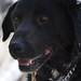 Australian Special Forces Dog Returns Home After A Year In The Afghan Wilderness