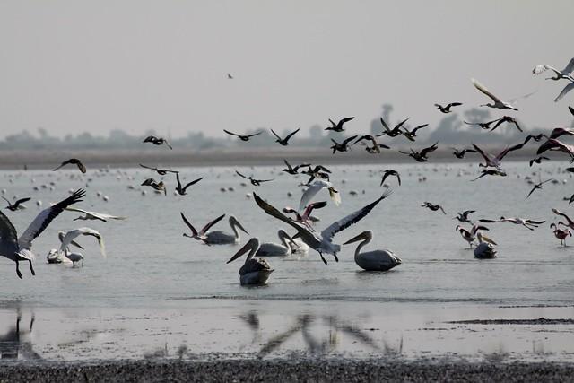 pelicans india