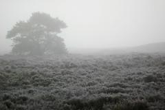 Heath and tree