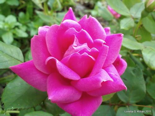Hot Pink Miniature Rose