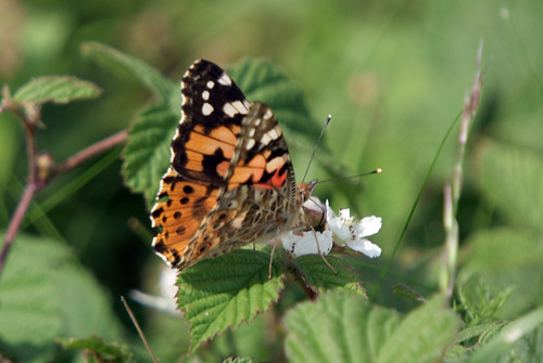 Painted Lady, Butterfly Formby July 2009