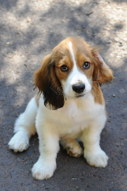 Basset Hound Mixed Breeds - a gallery on Flickr