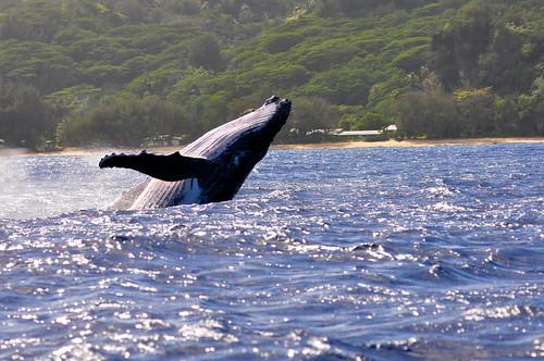 太平洋座頭鯨。(圖:Pierre Lesage)