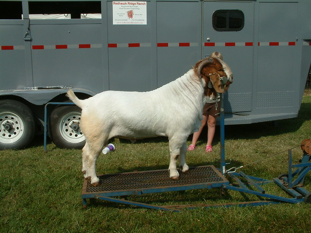 Goat Grooming Stands http://www.flickr.com/photos/whitebuffalobk/3913194802/