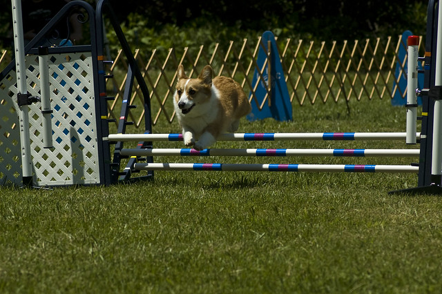 Pembroke Welsh Corgi Agility | Flickr - Photo Sharing!