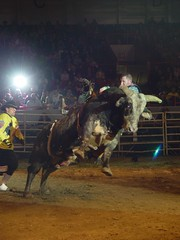 western riding(0.0), equestrian sport(0.0), performing arts(0.0), barrel racing(0.0), animal sports(1.0), rodeo(1.0), cattle-like mammal(1.0), bull(1.0), event(1.0), tradition(1.0), sports(1.0), performance(1.0), bull riding(1.0),