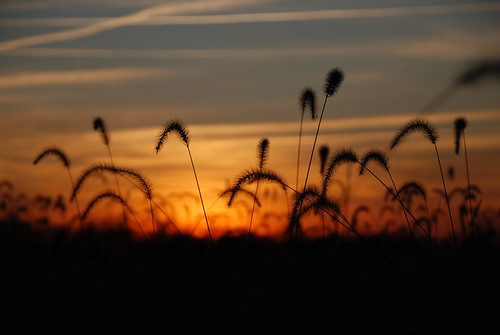 Foxtail Sunset