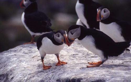 大西洋海雀,美國魚類暨野生動物署USFWS提供