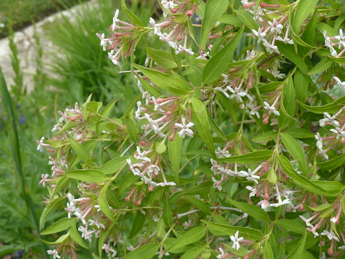 Zabelia triflora