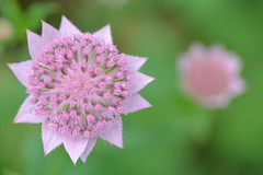 ASTRANTIA major 'Pink Surprise'