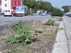 16 giugno 2011, nuove piante ornamentali scoperte oggi: zuche? cucumari?