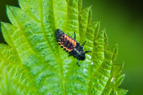 Harlequin ladybird larva on a nettle leaf
