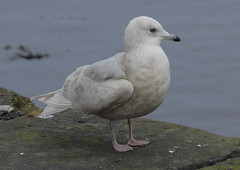 Iceland Gull, 2nd winter