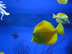 fish, yellow, coral reef fish, marine biology, freshwater aquarium, underwater,