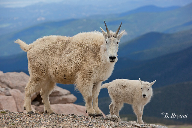 Recent Photos The Commons Getty Collection Galleries World Map App    Baby Mountain Goat