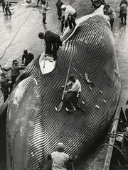 Whaling / Walvisvaart