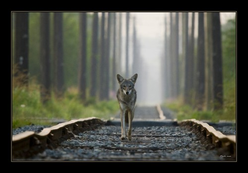 coyote canada nikon bc sigma burnaby d300 120400mm britishcoymbia