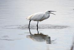 great egret(0.0), spoonbill(0.0), ibis(0.0), animal(1.0), wing(1.0), fauna(1.0), beak(1.0), bird(1.0), wildlife(1.0), egret(1.0),