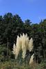Photo:Pampas grass / Cortaderia selloana / 白銀葭(シロガネヨシ) By TANAKA Juuyoh (田中十洋)