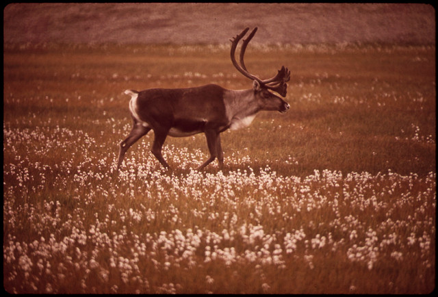 Caribou in Alaska Cotton, a Plant Found in Marshy Areas Along Entire 789-Mile Route of the Alaska Pipeline 08/1973 by Dennis Cowals.