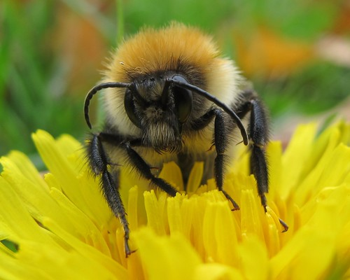 Dozy autumn bee. By John Spooner/Flickr