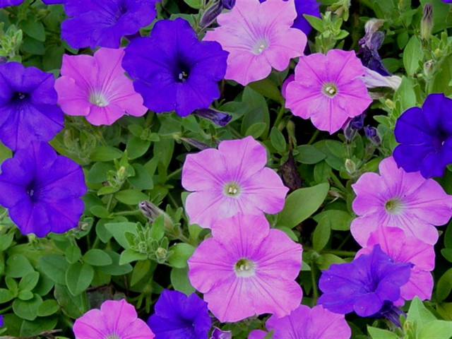 Blue and Lilac Wave Petunias