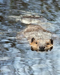 Beaver, Grand Teton National Park